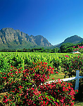 "South Africa, near Cape Town, Winelands Franschhoek valley: wine estate ""Klein Champagne"""