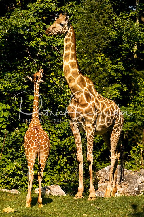 A baby  giraffe (Giraffa camelopardalis) explores a stick under the watchful eye of its parent at The North Carolina Zoo, located in the town of Asheboro, North Carolina. The North Carolina Zoo, located about 70 miles west of Raleigh and about    90 miles from Charlotte, is one of the largest natural habitat zoos in the United States that allows visitors to walk through its grounds. One of only two state-supported zoos in the country, the NC Zoo was the first American zoo to incorporate the natural habitat philosophy, which presents animals and plants together in exhibits that resemble the natural habits of these creatures in the wild. The North Carolina Zoological Park features animals from Africa and North America. The 1,500-acre  zoo is located atop Purgatory Mountain, which is part of the Uwharrie Mountains in central North Carolina.