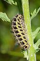 Caterpillar of Six-spot Burnet {Zygaena filipendulae} Devon, UK. June.