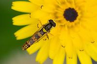 Gewöhnliche Langbauchschwebfliege, Blütenbesuch, Nektarsuche, Stift-Schwebfliege, Stiftschwebfliege, Langbauch-Schwebfliege, Schwebfliege, Männchen, Sphaerophoria scripta, Sphaerophoria strigata, long hoverfly, male, le Syrphe porte-plume