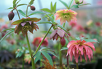 Helleborus hybridus Party Dress Group mixed colors, double flowered frilly blooms