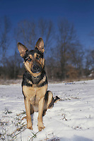 German shepard pup gives a quizzical look waiting for a sign, snowy day, midwest, USA