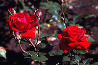Red Roses blooming in Stanley Park Rose Garden, Vancouver, BC, British Columbia, Canada