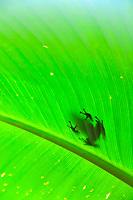 Green and Black Poison Dart Frog Dendrobates auratus, Selva Verde Nature Reserve, Rio Sarapiqui region, Heredia, Costa Rica