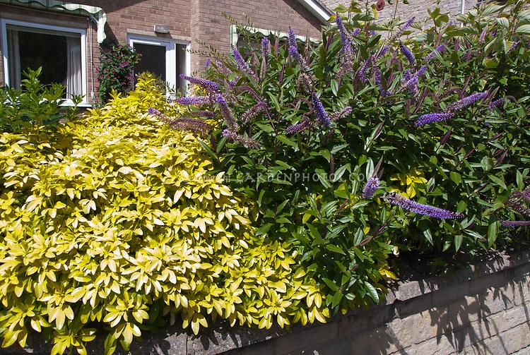 Hebe and Choisya Sundance plant combination, two shrubs