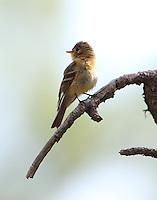Buff-breasted flycatcher