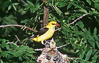Pirol, Männchen füttert Küken im Nest, Oriolus oriolus, golden oriole, Eurasian golden oriole, male, Le Loriot d'Europe