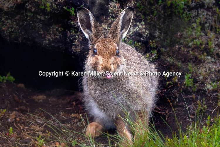 """A mountain hare appears to stick his tongue out at a watching photographer.<br /> <br /> The cheeky sight was captured by photographer Karen Miller in the Monadhliath Mountains in the Scottish Highlands.<br /> <br /> Karen said, """"I thought he looked sweet, he's actually grooming himself by using his tongue to wet the fur.  He certainly has loads of character!""""<br /> <br /> Please byline:  Karen Miller/Solent News<br /> <br /> © Karen Miller/Solent News & Photo Agency<br /> UK +44 (0) 2380 458800"""