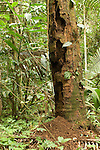 Cockscomb Basin Wildlife Sanctuary, Belize, Central America; a tree with extensive termite damage still stands in the jungle , Copyright © Matthew Meier, matthewmeierphoto.com All Rights Reserved