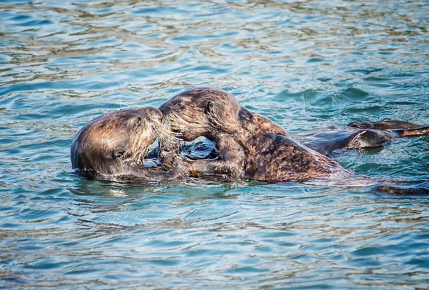 Sea otters playing in the ocean at Point Lobos, Carmel