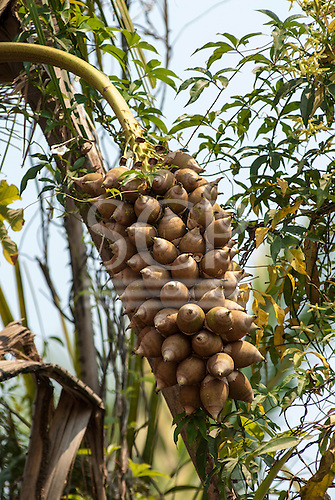 Aldeia Baú, Para State, Brazil. Rainforest babassu nuts on palm tree. Oil is extracted for beauty products from the jungle.