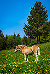 Oesterreich, Tirol, Zillertal Arena, Gerlos: Haflinger Fohlen auf Blumenwiese| Austria, Tyrol, Zillertal Arena, Gerlos: Haflinger foal at flower meadow