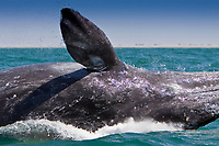 California Gray whale (Eschrichtius robustus) calf breaching in San Ignacio Lagoon on the Pacific Ocean side of the Baja Peninsula, Baja California Sur, Mexico. Each winter thousands of California gray whales migrate from the Bering and Chukchi seas to breed and calf in the warm water lagoons of Baja California. San Ignacio lagoon is the smallest of the three major such lagoons. Current (2008) population estimates put the California Gray whale at between 20,000 and 24,000 animals.