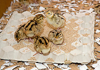 Day old French Common pheasant chicks on cardboard eggbox used as a feeder.