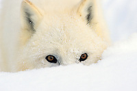Arctic wolf or arctic gray wolf in deep snow.