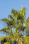 WASHINGTONIA ROBUSTA, MEXICAN FAN PALM AT PALM SPRINGS
