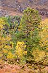 Downy Birch (Betula pubescens) and Scots Pine (Pinus sylvestris). Caledonian pine forest, Glen Strathfarrar, Scottish Highlands. Scotland. October.