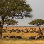 Wildbeest migration. Musabi Plains