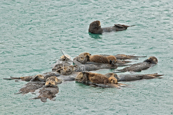 Sea Otter (Enhydra lutris) raft--group of sea otter resting together.