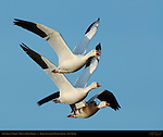 Snow Geese in Flight, White and Blue Morphs, Bosque del Apache Wildlife Refuge, New Mexico