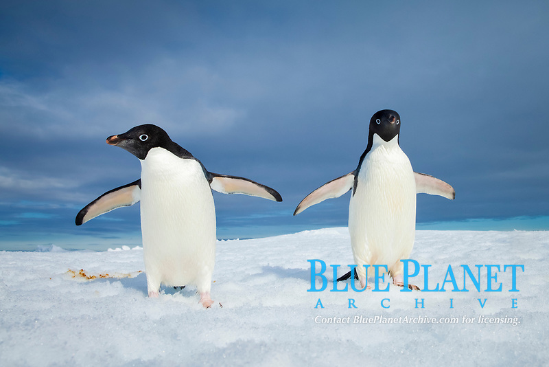 Two Adelie penguins, holding their wings out, standing on an iceberg.