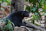Bornean sun bear (Helarctos malayanus euryspilus) at Bornean Sun Bear Conservation Centre (BSBCC), Sepilok, Sabah, Borneo. The world's smallest bear species.