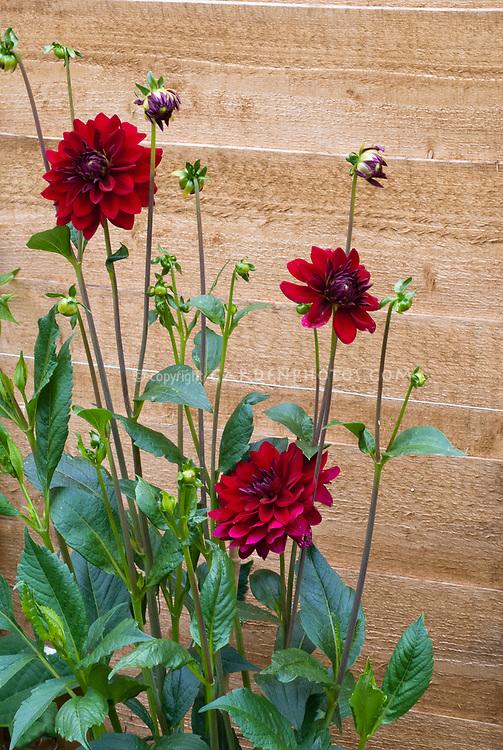 Dahlia 'Arabian Night' red flowers, semi dinnerplate, dinner plate