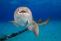 Nurse Shark, Ginglymostoma cirratum, Bahamas, Caribbean Sea.