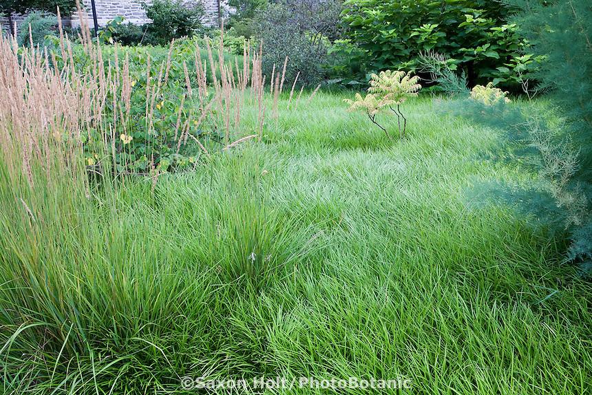 Lilyturf Liriope spicata lawn substitute groundcover meadow at Scott Arboretum