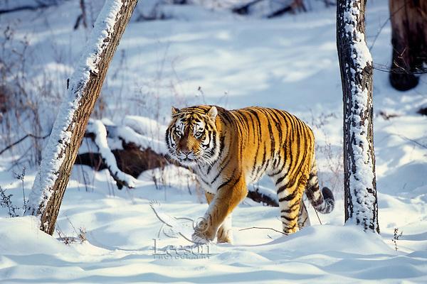 Siberian Tiger (Panthera tigris) in winter snow.