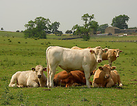 Beef cattle in field. Charolais Simmental.