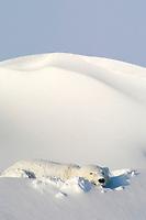 polar bear, Ursus maritimus, sleeping in snowbank after blizzard, Dymond Lake Lodge, near Hudson Bay, Churchill, Manitoba, northern Canada, polar bear, Ursus maritimus