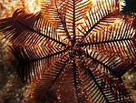 Kenting, Taiwan -- Crinoid (sea feather) on a coral
