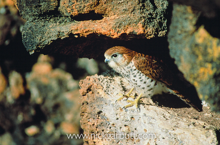Mauritius Kestrel (Falco punctatus) emerging from nest ledge. Black River Gorges National Park, Mauritius, Indian Ocean.