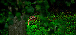 JimMendenhallPhotos.com 2013 July 19, 2013 single fawn in the wood seen through leaves of Tulip Poplar.