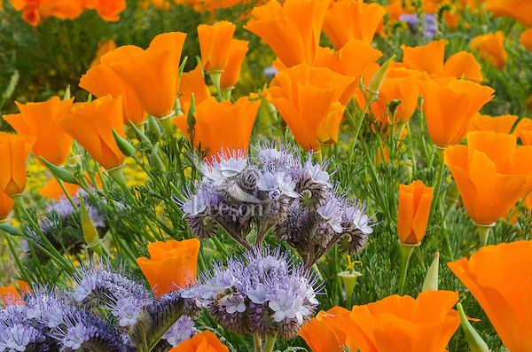 Lacy Phacelia (Phacelia tanacetifolia) growing among California Poppies.  California,  March.