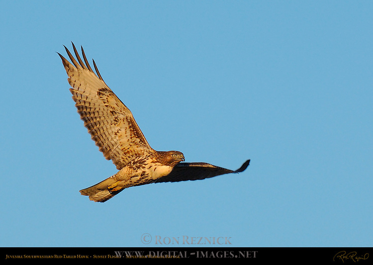 Juvenile Southwestern Red-Tailed Hawk, Sunset Flight, Sepulveda Wildlife Refuge, Southern California