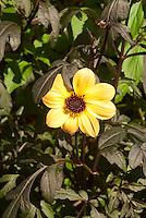 Dahlia Mystic Illusion, single yellow flowers with dark black purple foliage leaves