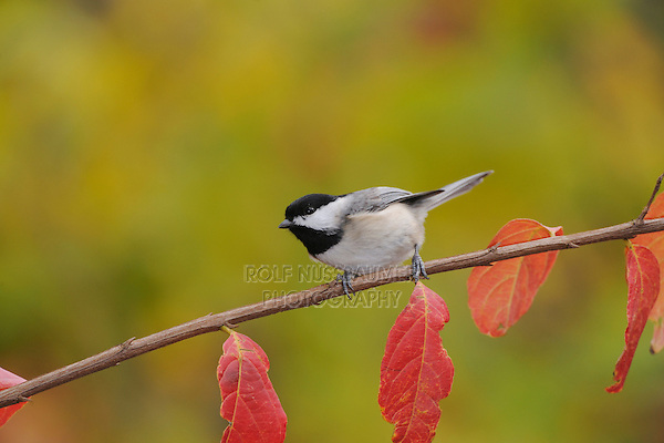 Carolina Chickadee, (Poecile carolinensis), adult on Crape Myrtle (lagerstroemia), New Braunfels, San Antonio, Hill Country, Central Texas, USA