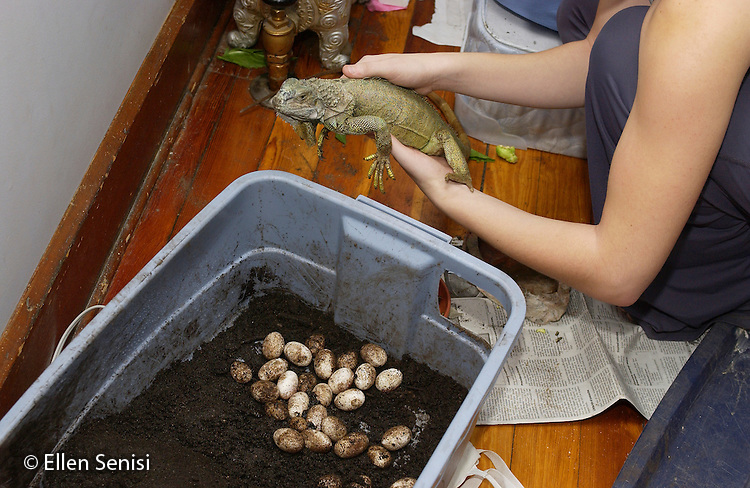 MR / Schenectady, NY.Over 30 iguana eggs laid in damp potting soil by two-year-old pet iguana in home setting, held by her owner (girl: 18)..green iguana : iguana iguana  .©Ellen B. Senisi