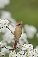 Northern Cardinal (Cardinalis cardinalis), female perched on blooming pear tree (Pyrus sp.), Hill Country, Texas, USA