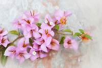 Softly hued rendition of a bougainvillea sprig against a textured wall