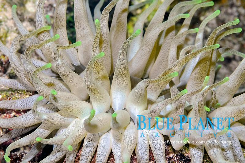Giant anemone, Condylactis gigantea, Cozumel, Mexico, Caribbean