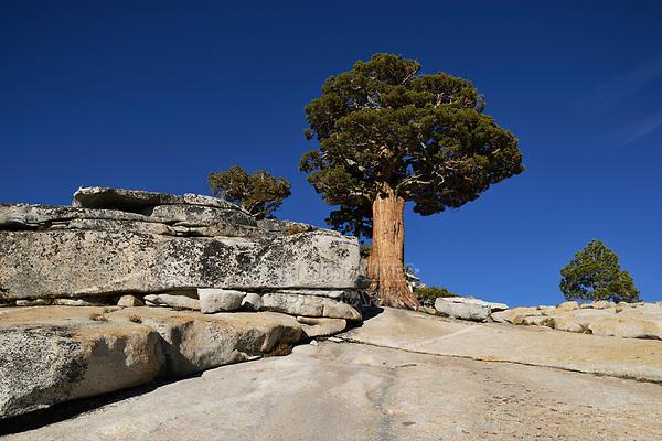 Bristlecone Pine (Pinus sp.), Olmsted Point, Yosemite National Park, California, USA