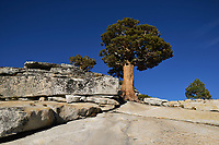 Bristlecone Pine (Pinus sp.), Olmsted Point, Yosemite National Park, California, USA