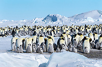 Snow Hill Island, Antarctica. Scenic emperor penguin colony with chicks on a sunny day.