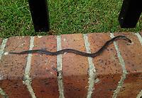 BOGOTA -COLOMBIA ,  Culebra de jardín muerta./  Garden snake . Photo: VizzorImage / Felipe Caicedo / Staff