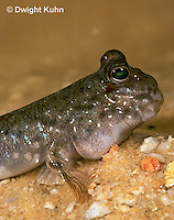 ME05-008a  Mudskipper eyes and head above water - Periophthalmus sp.