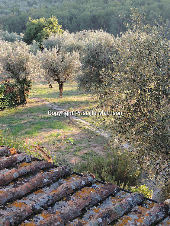 Val d'Arno, Italy - October 2, 2012:  Late afternoon sun falls on an olive grove.