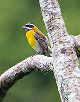 Stripe-Headed Tanager